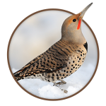 Northern Flickers