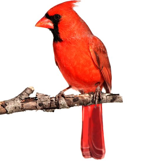 Cardinal2b